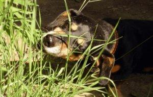 ваша собака ест траву